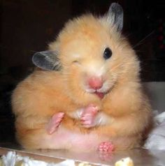 "cute little hamster---Um, I think he ate something not good and it gave him the ""twitch""!"