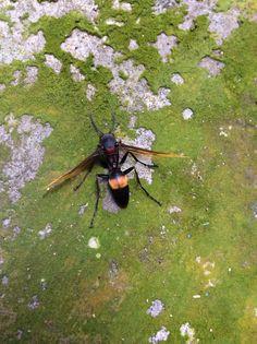Greater Banded Hornet, Vespa tropica (Hymenoptera: Vespidae)