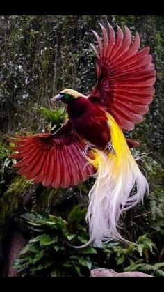 Greater bird of paradise.BIRDS OF PARADISE.a group of 42 species of birds found in eastern Indonesia, Papua New Guinea, and eastern Australia dense rainforest habitats.best known for the plumage of the males Kinds Of Birds, All Birds, Love Birds, Birds Pics, Different Birds, Angry Birds, Pretty Birds, Beautiful Birds, Animals Beautiful