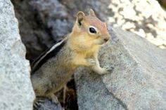 Golden-mantled Ground Squirrel Pictures
