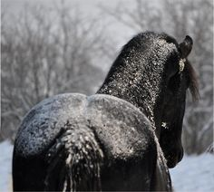 """Friesian Stallion with frosting"""" Posters by Laurie Zaporzan . All The Pretty Horses, Beautiful Horses, Animals Beautiful, Black Horses, Wild Horses, Winter Horse, Dark Side, Majestic Horse, Friesian Horse"""