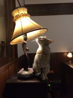 Daphne and an old lamp at catteria cloud nine./ cat cafe cats