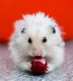 Hamster eating a cherry so cute!!!!!
