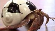 How to Care for Land Hermit Crabs : What to Look for When Choosing a Pet Hermit Crab, via YouTube.