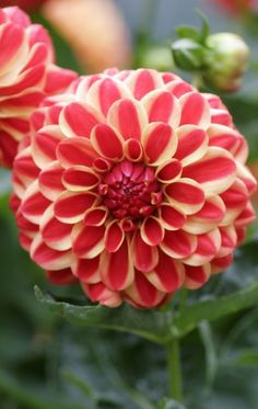 .~Natural elements: Dahlia 'Jescot Lingold.'~.