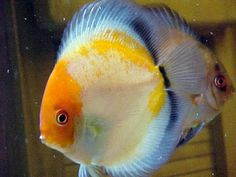 Ghost / Calico Discus Fish
