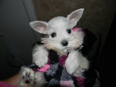 Toy Miniature Schnauzers | Teacup, Toy and Miniature Schnauzer Puppies for Sale