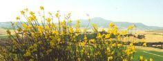 Circolo di Roma dell'UAAR - Perché la ginestra è stata assunta come la pianta rappresentativa dei non credenti Love Her, Vineyard, Life, Outdoor, Rome, Outdoors, Vine Yard, Vineyard Vines, Outdoor Games