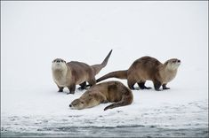 River Otters Yellowstone National Park