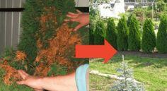 Jak zabránit vysychání tújí a trávníku? Dokonalý domácí trik, aby byly znovu zelené   iRecept.cz Plants, Garden