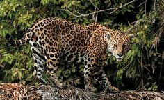 A Onça pintada é encontrada nas matas do Cerrado brasileiro-Centro Oeste do Brasil. Sua  expectativa de vida (vivendo de forma selvagem) é de 12 anos aproximadamente. Em cativeiro, a onça pintada pode passar de 20 anos.