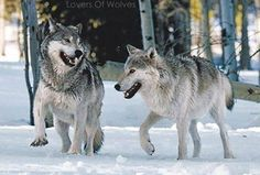 Lovers of Wolves Photo