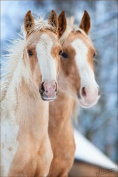Palomino Paint Horses In Snow Horses In Snow, Baby Horses, Wild Horses, Draft Horses, All The Pretty Horses, Beautiful Horses, Animals Beautiful, Zebras, Horse Pictures