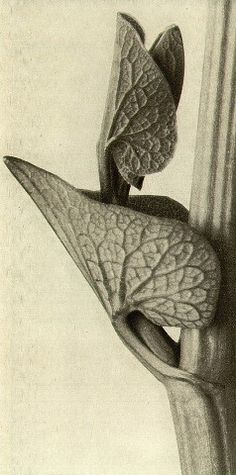 Karl Blossfeldt - Aristolochia clematitis, Birthwort Stem with leaf magnified eight times