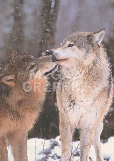 Stretched Canvas Print: Boreal Interlude, Canada Canvas Art by Art Wolfe : Wildlife Conservation Society, Award Winning Photography, Wolf Love, Painting Edges, Wolf Painting, Stretched Canvas Prints, Giclee Print, Canvas Art, Wolf Canvas