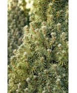 *(31) DWARF ALBERTA SPRUCE 'ALBERTA BLUE' (PICEA GLAUCA 'HAAL' P.P. #11,473) - dwarf evergreen conifer, zones 2-8, partial to full sun, good rock garden specimen, blue-green foliage (no blooms), good in containers, slow grower, grows 5' to 7' by 2' wide, year-round interest