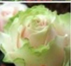 10 Beautiful Dancing Queen Rose Seeds Rose Flower Seeds