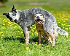 Blue Heelers are so silly .