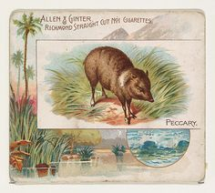 Peccary, from Quadrupeds series (N41) for Allen & Ginter Cigarettes