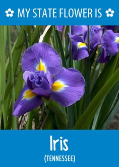 #Tennessee's state flower is the Iris.What's your state flower? http://pinterest.com/hometalk/hometalk-state-flowers/