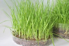Grow wheat grass for Easter decor.  Must  start two weeks ahead.