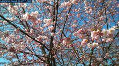 Sakura-Cherry Blossom