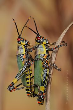 God's art. exotic colorful grasshoppers - Photographer Igor Siwanowicz