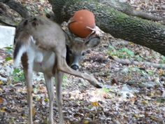 Pennsylvania Buck with Basketball in Antlers, Oct. 2013