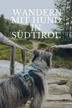 On the trail of the Ötzi - hiking on the Taschenjöchl in the Schnalstal - Reiseziele Cute Funny Dogs, Cute Cats And Dogs, Animals And Pets, Funny Animals, Yorkie, Chihuahua, Hiking Dogs, South Tyrol, Dog Travel