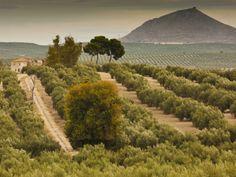 Jaén, Spain | Spain, Andalucia Region, Jaen Province, Jaen-Area, Olive Trees ...