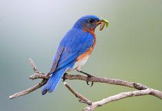 Why Garden for Wildlife? - Canadian Wildlife Federation (photo by Larry Kirtley) Canadian Wildlife, Drinking Water, Blue Bird, Habitats, Birds, Explore, Gardening, Nature, Plants
