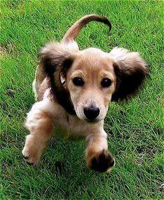 dachshund. Shaded English cream longhaired dachshund. #Dachshund