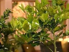 The gardening experts at HGTV.com share tips for growing dwarf fruit trees indoors.