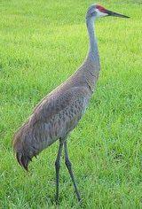 Sandhill Crane: Sandhill Crane - Adult