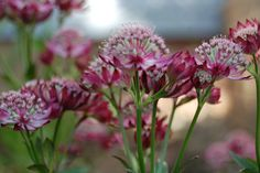 Punatähtiputki 'Lars' blogista Marian koti ja puutarha