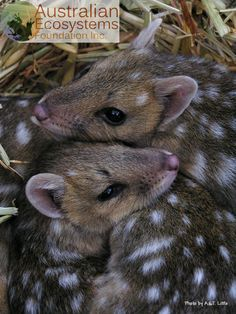 Quoll, a small nocturnal carnivorous marsupial. Once they lived on the East coast of Australia, now they are extinct on the mainland and can only be found on Tasmania. An endangered species