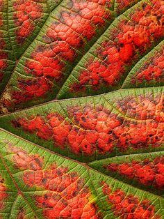 macro leaf veins