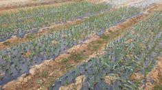 두동 밭! 마늘마늘마늘