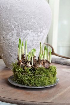 [ bulbs ] Daffodil (Narcissus Bridal Crown) moss