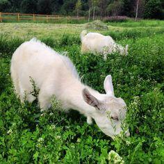Мишель и Ангел #beme_beme#ферма#ferma#зааненскиекозы#goat#деревня#дольское