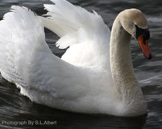 White Swan Photography, 8x10 Digital Download, Majestic, Art, Nature Photography, Inspiration, Waterfowl Photograph, Fine Art Photography