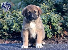 Keystone Puppies has a puppy finder feature setting you up to find and buy a dog perfect for your home. Anatolian Shepherd Puppies, Puppy Finder, Buy A Dog, Puppies For Sale, Farming, Doggies, Goats, Cute, Animals