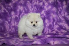3 months old Pomeranian puppy for sale