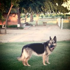 Meet Tuffy our November Featured Reader and a wonderful senior girl living the life of a dairy dog in Central California. Central California, Senior Girls, Dog Lovers, Husky, November, Dairy, Meet, Puppies, Dogs