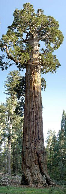 Le General Grant est un séquoia géant. Il s'agit du deuxième arbre le plus massif du monde, après le General Sherman. Il est situé dans la forêt de Grant Grove dans le parc Kings Canyon National Park dans le Sierra Nevada dans l'Est de la Californie. Son volume était en 2004 de 1319,8 m³, il mesure 81,72 m pour une circonférence de 32.77 m et un diamètre de 12 m. Il serait âgé de 1500 à 2000 ans.