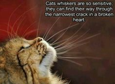 Cats Whiskers - World's largest collection of cat memes and other animals Crazy Cat Lady, Crazy Cats, I Love Cats, Cute Cats, Funny Animals, Cute Animals, Cat Whiskers, Cat Quotes, Quotes About Cats