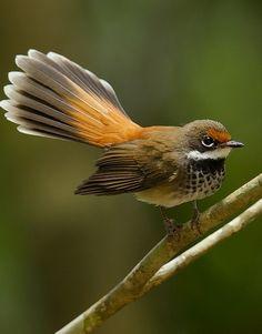 Abanico rojizo - Rufous Fantail - Fuchsfächerschwanz - Rhipidure roux Small Birds, Little Birds, Colorful Birds, Pet Birds, Kinds Of Birds, Love Birds, Beautiful Birds, World Birds, Crazy Bird