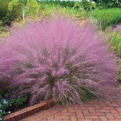 Spring Hill Nursery Pink Cotton Candy Ornamental Grass Plant - Set of Two Cotton Candy Grass, Pink Cotton Candy, Garden Soil, Garden Plants, Gardening, Outdoor Plants, Outdoor Gardens, Indoor Outdoor, Pink Grass