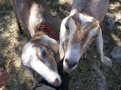 G+D's Nubian Dairy Goats - G+D's Precious Peeps
