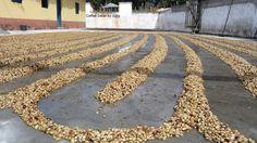 Coffee long drying in the sun